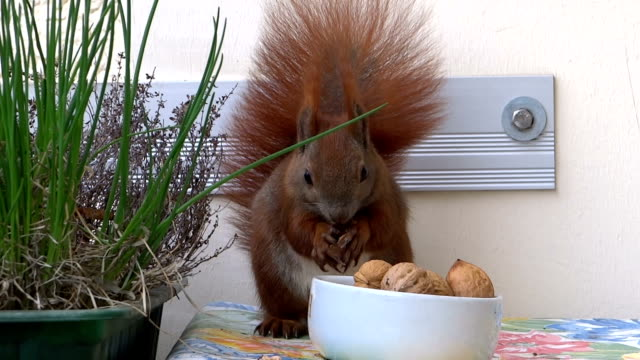 Squirrel eating video