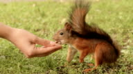 Squirrel eats from the hand. video