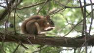 Squirrel eats mushroom. video