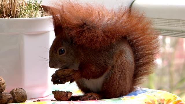 Squirrel eats nut video