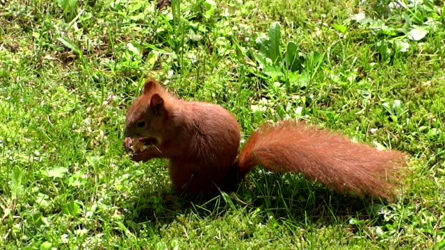 Squirrel eats on the meadow video