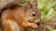 Squirrel eats the nut. Close up shot. video