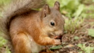 Squirrel eats the nut. video