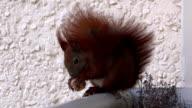 Squirrel eats video