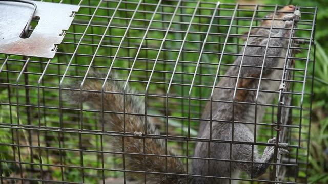 squirrel in a trap video