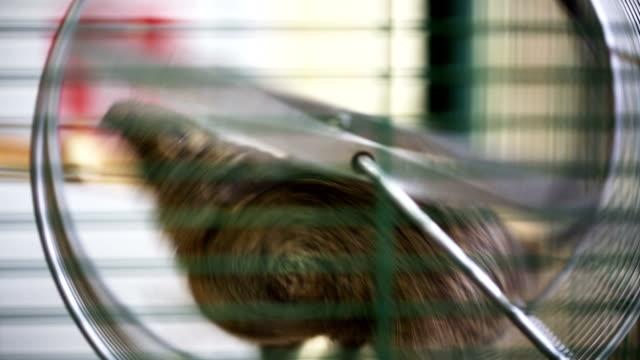 Squirrel in a wheel video