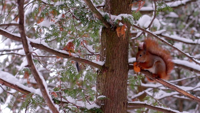 Squirrel in the winter forest. video