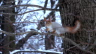 Squirrel in the winter forest video