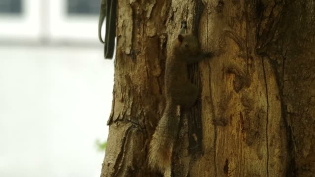 squirrel is climbing a tree stem video