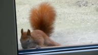 Squirrel Looks Through The Window video