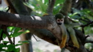 Squirrel monkey resting on tree video