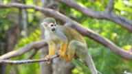 Squirrel monkeys in the trees. video