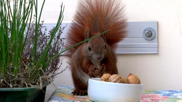 Squirrel on balcony video