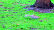 squirrel on the grass video