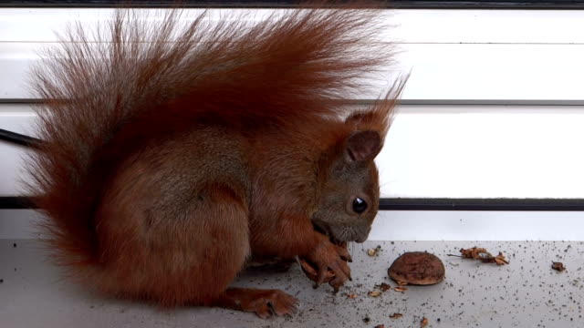 Squirrel on the windowsill video
