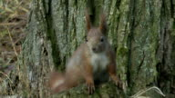 squirrel red video