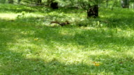 Squirrel running and jumping through the grass with sunlight spots. Sunny day in a park video