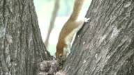 Squirrel video