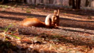 Squirrel with nuts. video