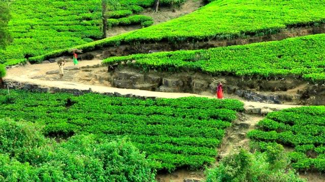 Sri Lanka tea garden mountains in nuwara eliya video