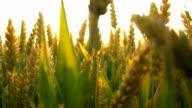 HD Stabilization Shot: Moving Through Wheat video