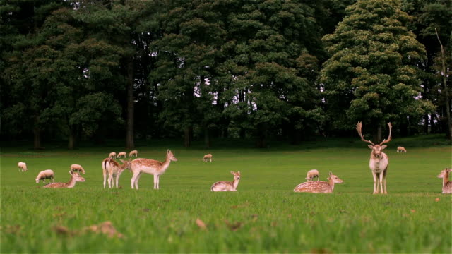 Stag and Deer on Grass in Front of Sheep and Trees video