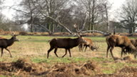 Stag Deer Walking and Grazing video