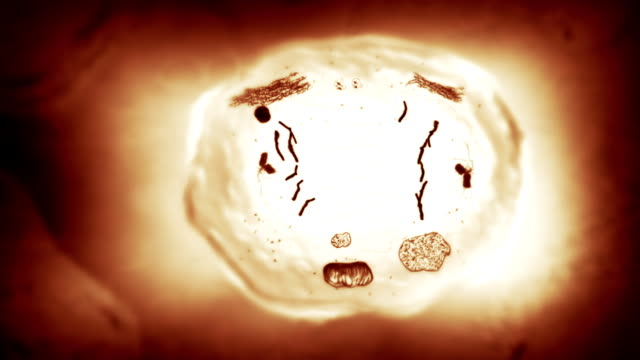 Stages of mitosis. Loopable. Biology background. Brown. video