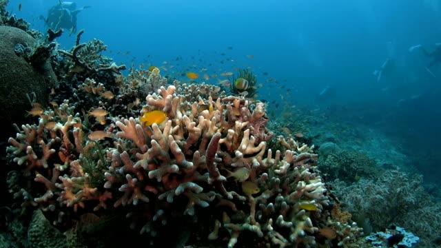 Staghorn coral, damselfish, coral reef, undersea video