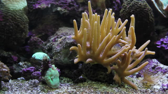 Staghorn corals video