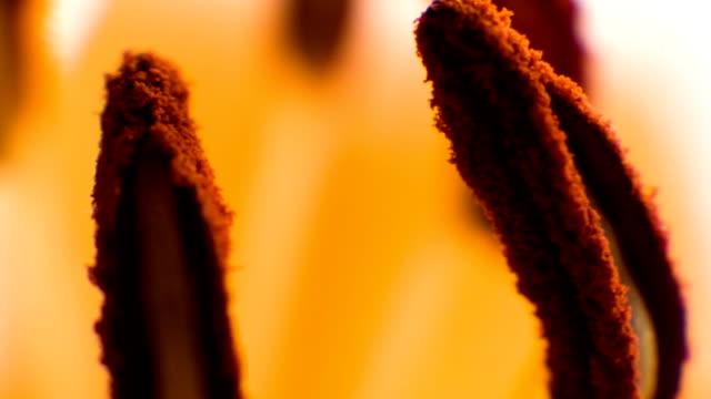 Stamens of Orange lily. video