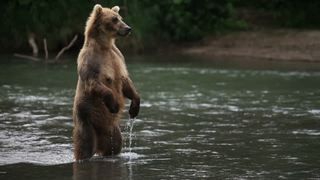 Standing bear video