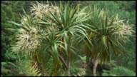 HD: Standing Proud: Cabbage Palm Tree, Plant, Flora. video