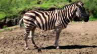 Standing Zebra video