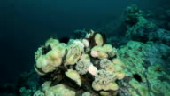 Starfish and sea anemone among rocks on seabed. video