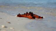 starfish in the beach sand video