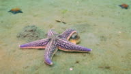 Starfish prey on a sandy bottom on the shells. video