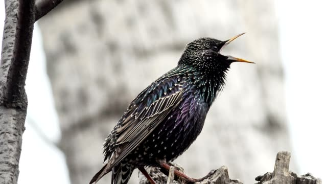 Starling video