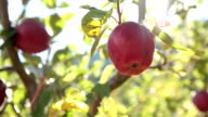 HD: Static close up shot of apples on a tree video