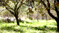 HD: Static shot of an apple orchard. video