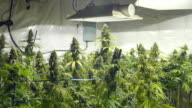 Static Shot of Field of Marijuana Plants with Buds at Indoor Cannabis Farm video