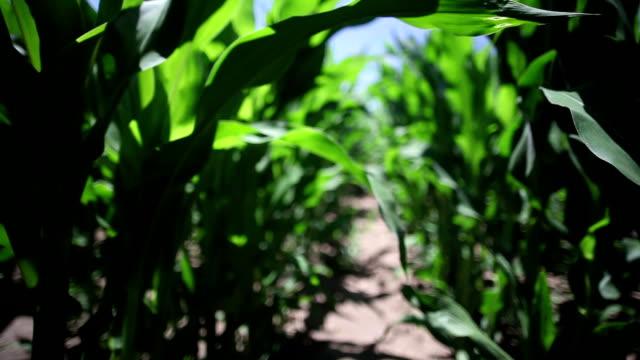Steadicam corn field video