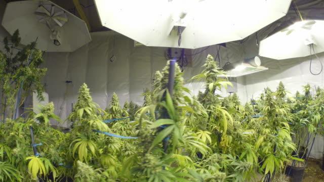 Steadicam Motion Across Marijuana Plants with Buds at Indoor Cannabis Farm video