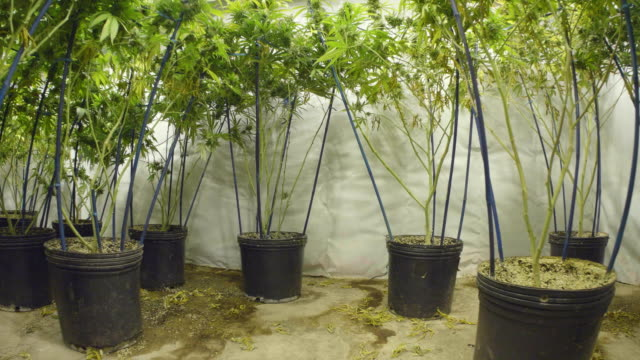 Steadicam Motion Pull Back from Marijuana Plants with Buds at Indoor Cannabis Farm video