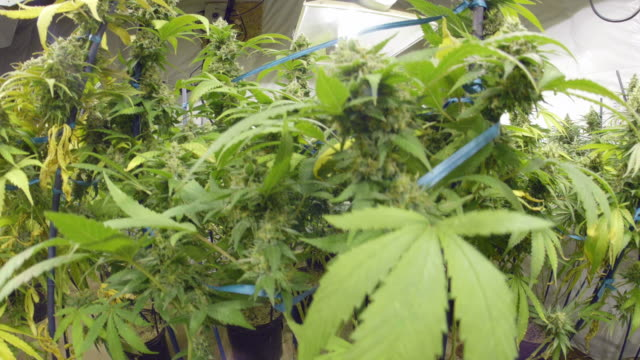 Steadicam Motion Rise to Marijuana Plants with Buds at Indoor Cannabis Farm video