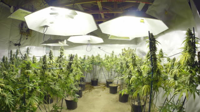 Steadicam Motion Through Marijuana Plants with Buds at Indoor Cannabis Farm video
