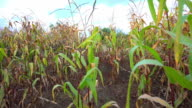 Steady walk along path between rows of fresh green maize, corn or mielie plants growing in an agricultural field video
