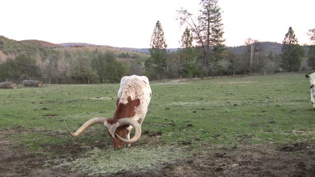 Steer with huge horns eats video