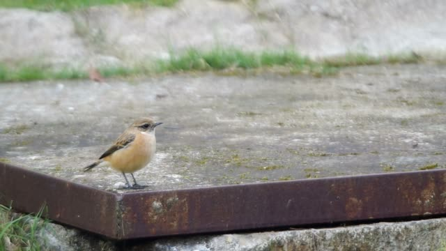 Stejneger's Stonechat rest on cement and fly away video