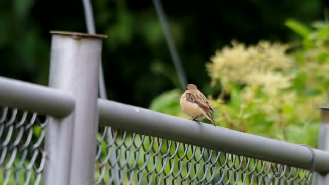 Stejneger's Stonechat rest on iron fence video